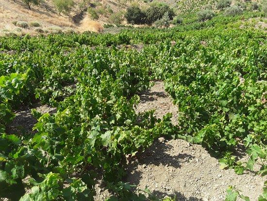 Sedella, Spanyol: Les vignes