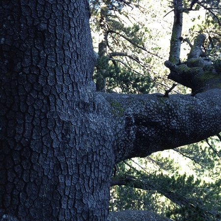 Pirin, Bulgária: Photo shows the thickness of one of the lower branches of this huge approximately 1300 year old