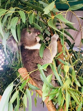 Blue Diamond Tours: Koala