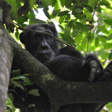 Kibale National Park, Uganda: Chimps!