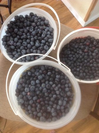 Gierke blueberry farm