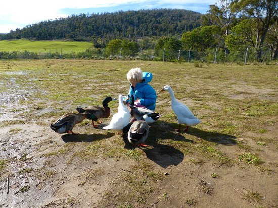 Riverside, Australia: Friendly ducks in muddy grounds