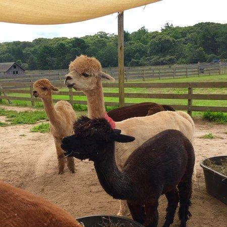 Island Alpaca Company of Martha's Vineyard照片