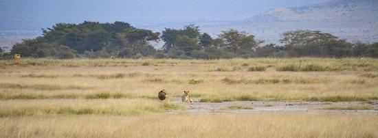 Amboseli National Park, Quênia: Lions