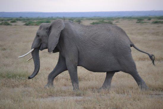 Amboseli National Park, Kenya: Elephants
