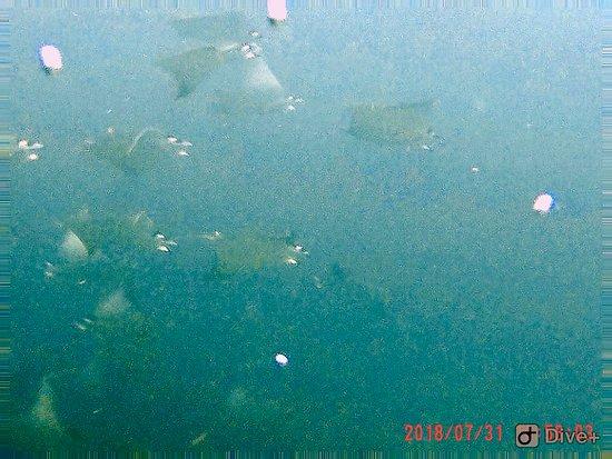 Exploramar Diving: School of Mobulis rays