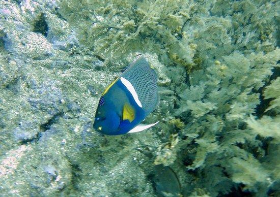 Exploramar Diving: Angel fish