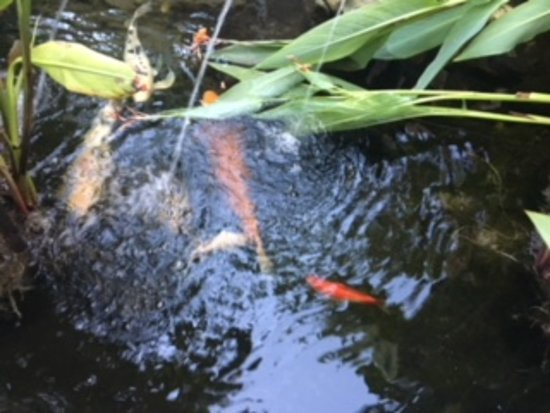 The Avalon Hotel: The Koi pond at breakfast
