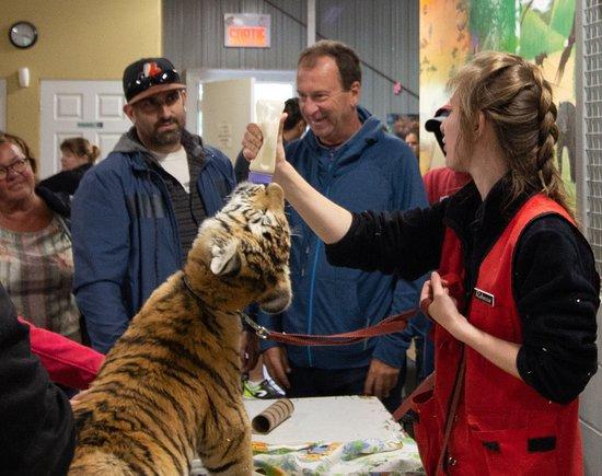 Saint-David-de-Falardeau, Kanada: Baby tiger enjoying the milk