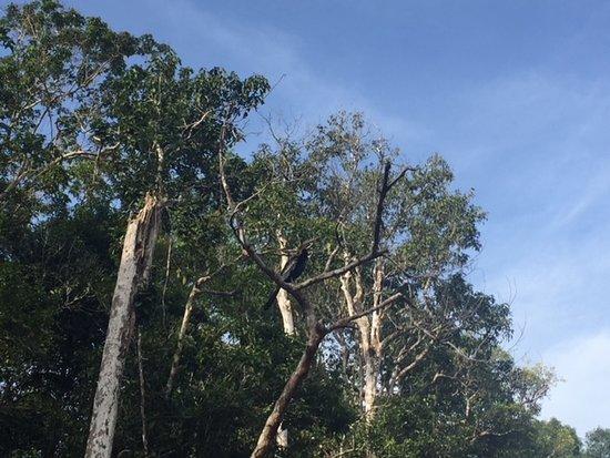 Sukau, Malaysia: Hornbill