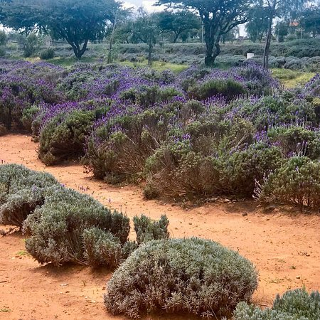Lavander Farms Of Pozos