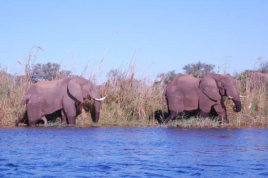 Chirundu, Zambia: Elephants by river