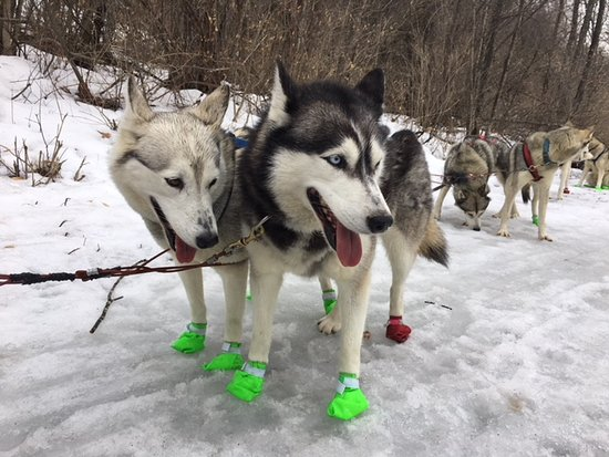 Hartland, VT: Braeburn Siberians!