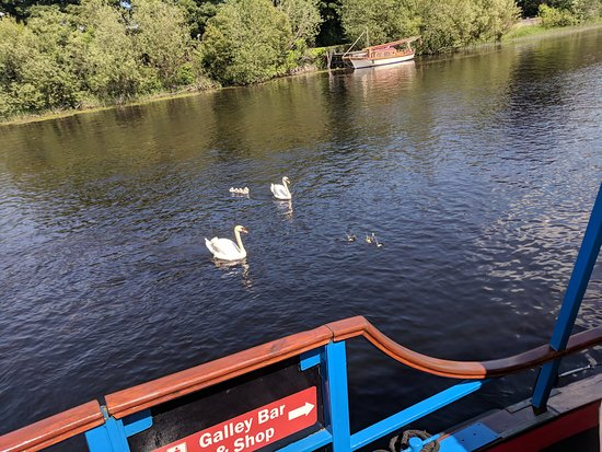 Regal swans, an important part of Irish mythology - Picture