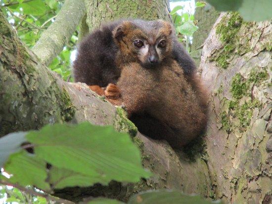 Howletts Wild Animal Park: Lemur.