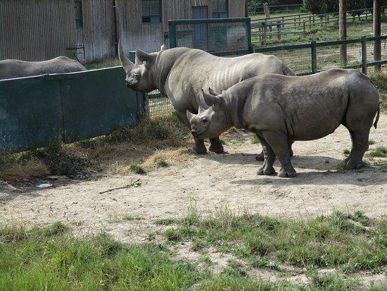 Howletts Wild Animal Park: Rhino.