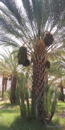 Tecopa, Калифорния: Depending on the type of date produced a single tree can produce 100-300 pounds of fruit.