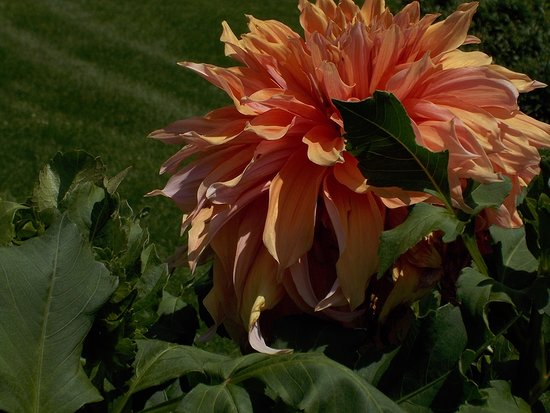 Dubuque, IA: This is just one of the Dahlias. They have a complete rainbow of colors.