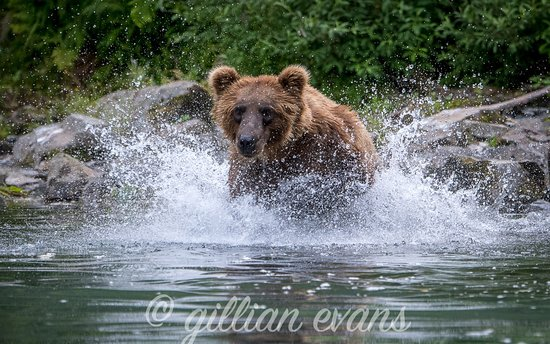 Parco nazionale e Riserva del Lago Clark, AK: bear charge at redoubt bay lodge.. for salmon!