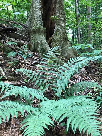 ferns in deep shade along Buckeye trail at Richfield Heritage Preserve