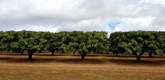 Biboohra, Australia: Mango trees as far as the eyes can see