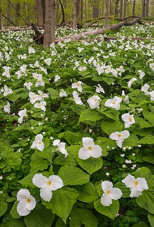 New Carlisle, IN: Spring woodland wildflowers like Great White Trilliums carpet the forest floor in April and May.