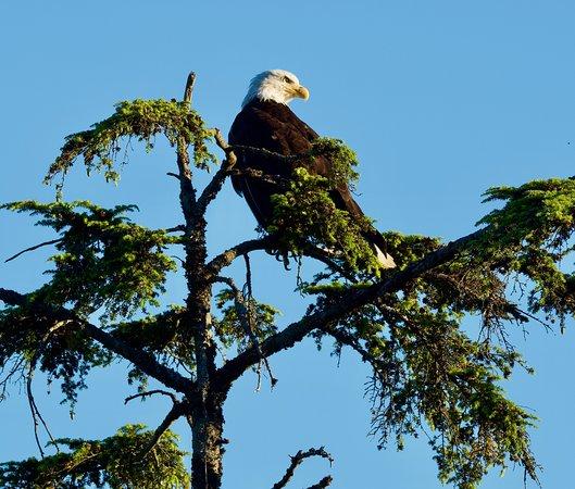 Chilkat Bald Eagle Preserve: Bald Eagle