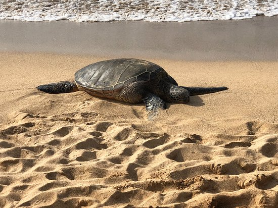 Makawao, هاواي: Our tour ending with a viewing of sea turtles basking in the sun!