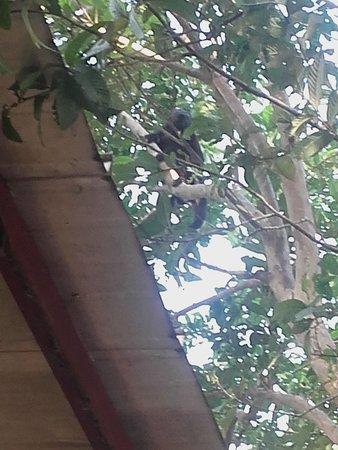 Ostional, Costa Rica: brulaap op het verblijf