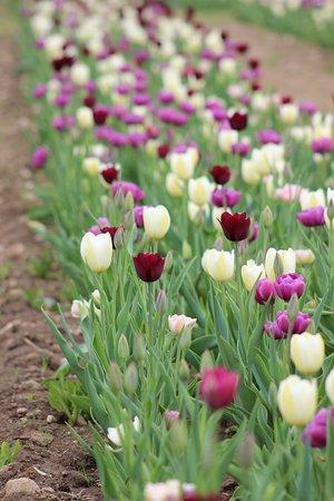 Wicked Tulips Flower Farm: Tulip fields
