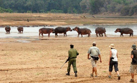 North Luangwa National Park, Zambia: Mwaleshi walking safaris