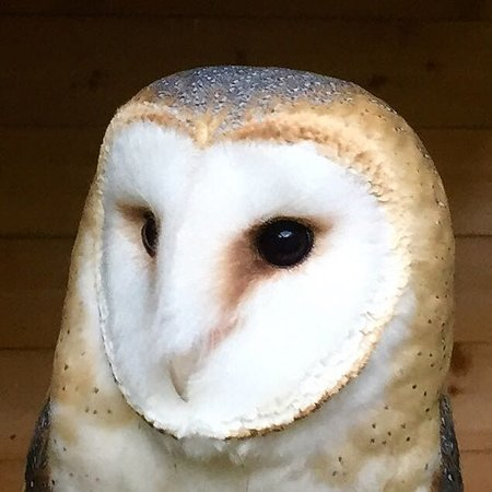 Knockholt, UK: Luna - Barn Owl
