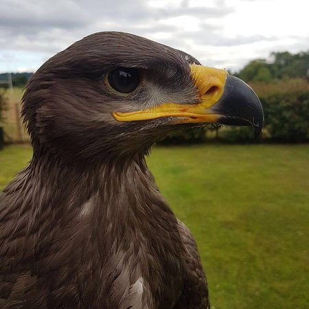 Knockholt, UK: Buckbeak - Steppe Eagle