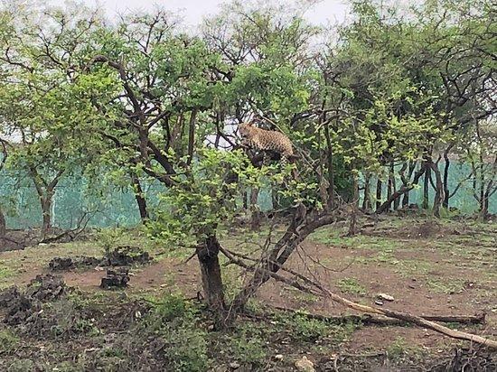 Devalia Safari Park: The leopard on a tree.