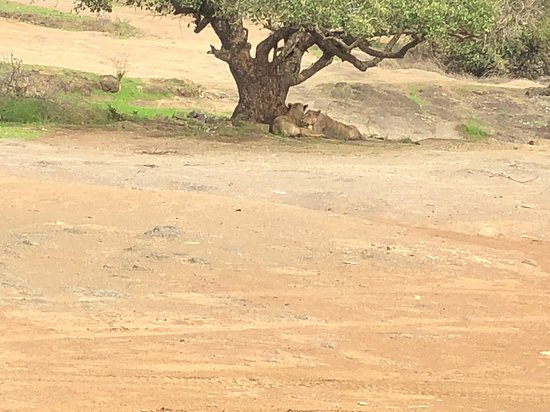Devalia Safari Park: The resting lions