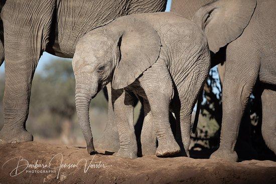Mashatu Game Reserve, Botswana: Baby elephant at water hole