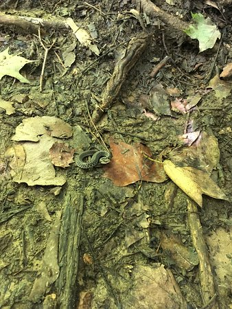 Charlestown, Индиана: Snake on trail 3 in the woods