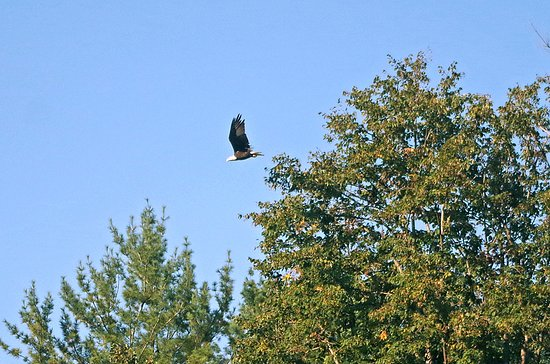 Huntington, MA: A bald eagle at Littleville Lake.