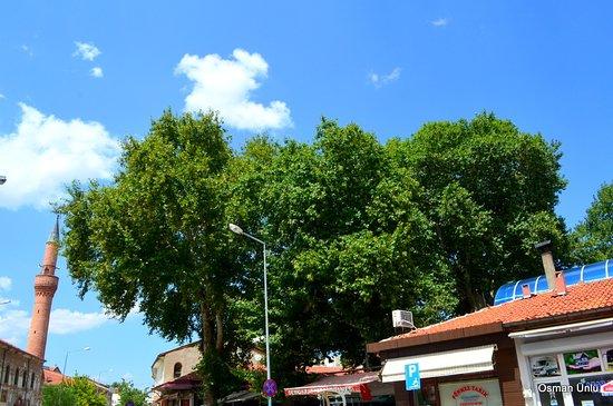 Tarihi Cınar Agacı