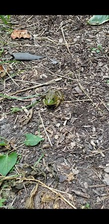 Kempton, IL: A frog in its habitat by the pond.