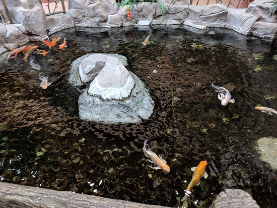 Evansville, WY : Koi pond, the staff has food for guests to feed them.