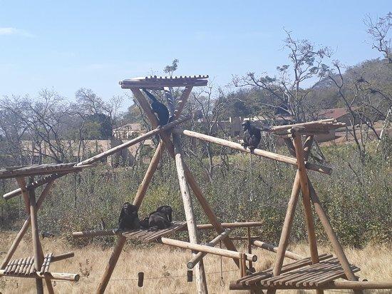 Jane Goodall Chimpanzee Eden Sanctuary : Santuário dos Chimpanzés - Nelspruit - África do Sul