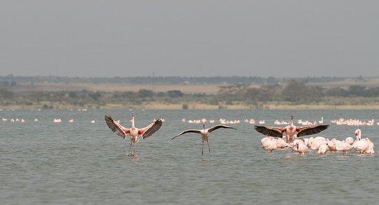 Lake Elementaita, Kenya: Flamands roses