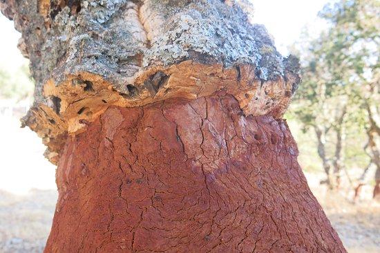 Bitti, Italie: Particolare dell'albero cui è stata da poco asportata la corteccia pronta