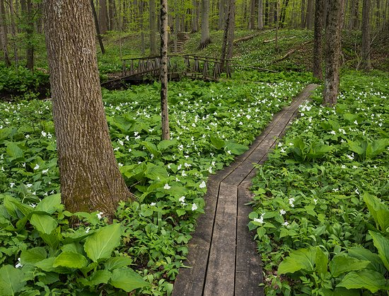 Dowagiac, MI: Spring woodland wildflowers like Great White Trilliums carpet the forest floor in April and May.