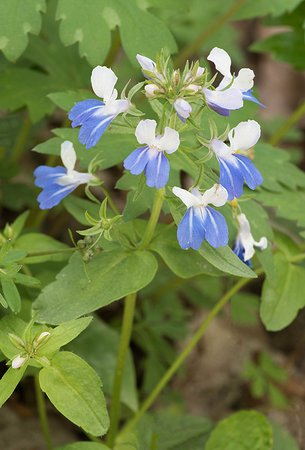 Dowagiac, MI: Blue-eyed Marys are a rare spring wildflower you'll find here.
