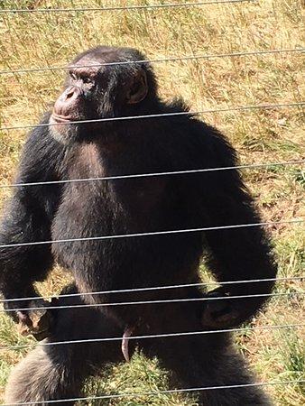 Jane Goodall Chimpanzee Eden Sanctuary : My favorite chimp, Cozy!