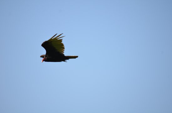 Breaks, Вирджиния: Turkey Vulture