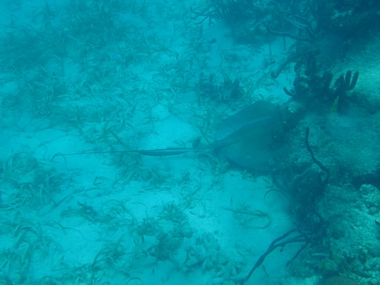 Glovers Reef Atoll, Belize: we saw several Rays