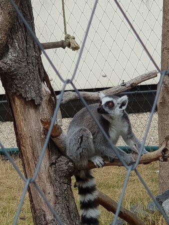 Lennestadt, Jerman: bei den Lemuren
